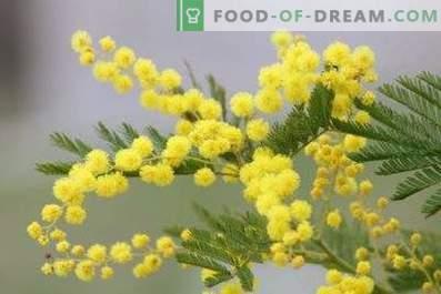 Come mantenere la mimosa soffice in un vaso